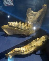 Mastodon Jawbones