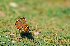 Butterfly - Bee Clover