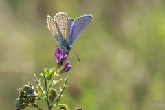 Papillon  Azuré 26-31aout 17-6
