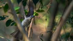 friarbirds