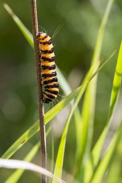Tyria jacobaeae - Cinnabar Moth