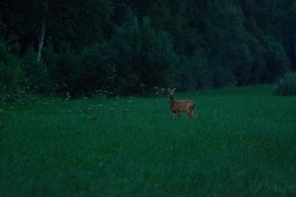 Metskits, Roe, deer, Capreolus, Estonia, kits, Kaido Rummel