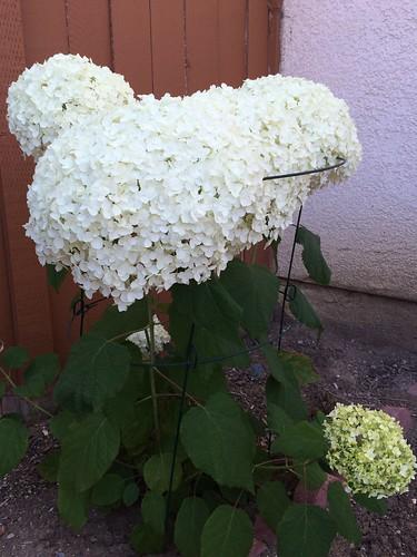 繡球花 (Annabelle Hydrangea)