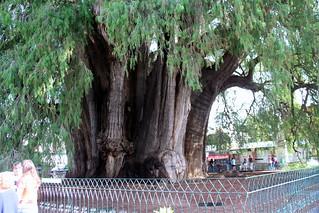 Tule Tree-3
