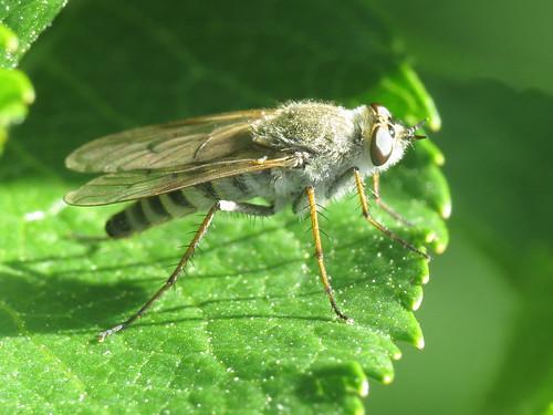 Thereva unica (Therevidae - Stiletto Flies)