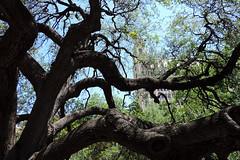 San Antonio - Under The Old Oak Tree