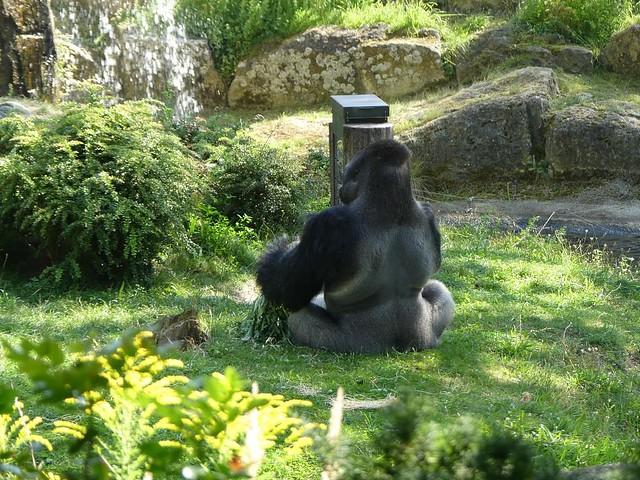 Gorilla Ivo am Stocherkasten, Zoo Berlin