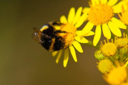 Pollen-dusted bee on ragwort flowers
