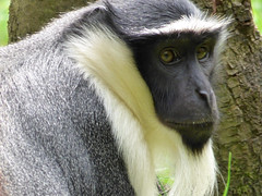Cerza Zoo - roloway monkey. - Photo of Beuvillers