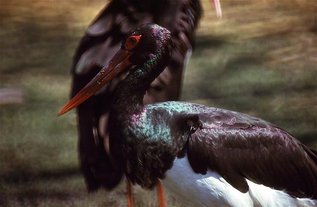 Black Stork (Ciconia nigra)(captive specimen)
