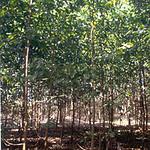 Acacia mangium stand