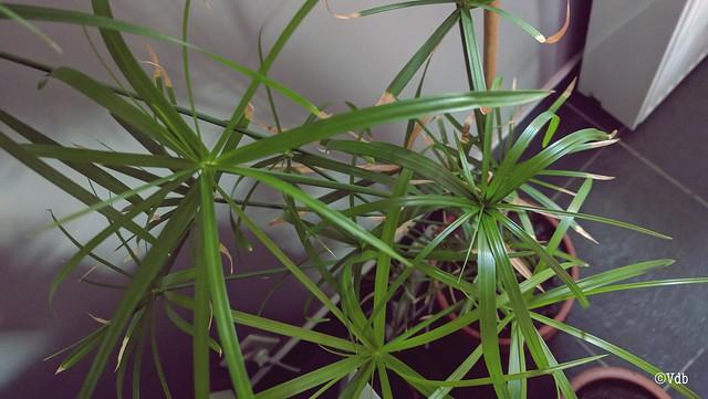 kamerplant papyrus