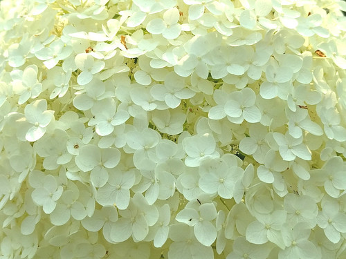 Hydrangea close-up