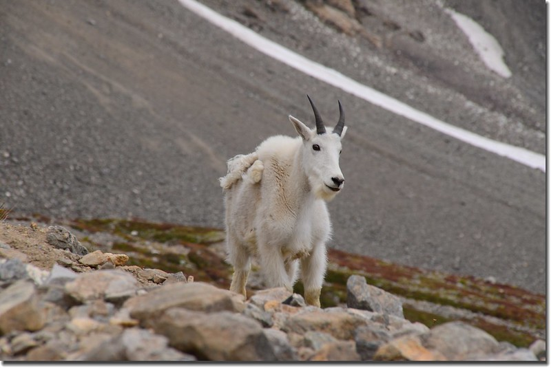 Mountain Goat (5)