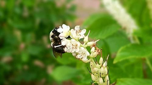 Bee on Clethra alnifolia