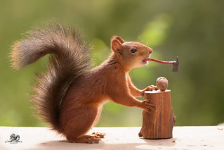 squirrel holds a axe in mouth