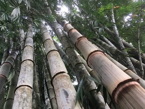 bamboo bambu ecuador oriente giantbamboo