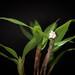 Small photo of Eria sp. aff. nutans (Vietnam)