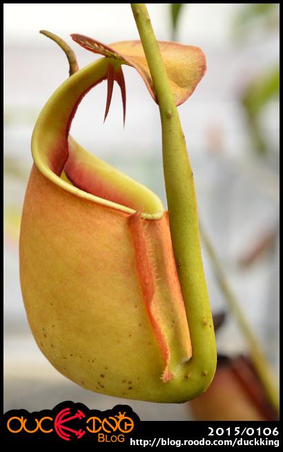 N. bicalcarata 二齒豬籠草
