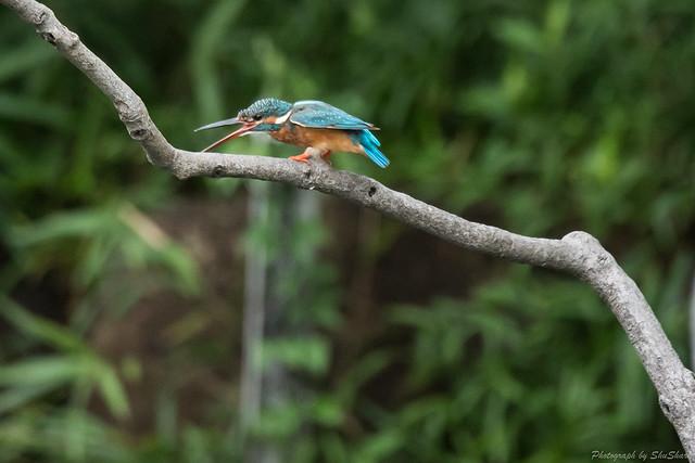 20170820-Kingfisher-DSC_0608