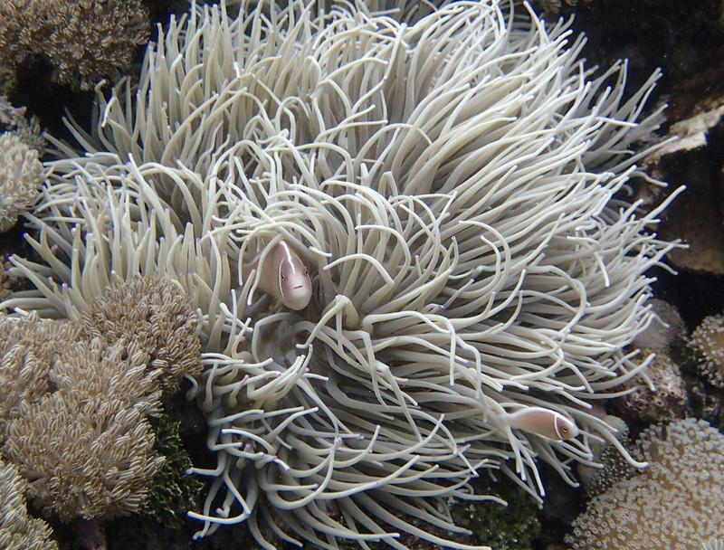 Pink anemonefish_Розовый амфиприон_P8050067+