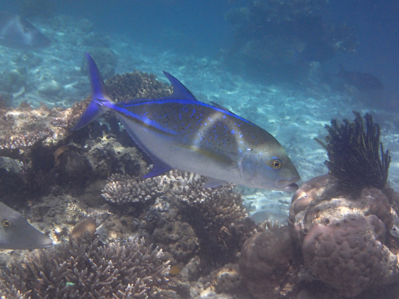 Bluefin trevally_звездчатый каранкс_P8060182+