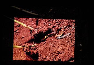 ブラジルにおけるモロコシマダラメイガの生態