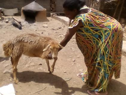 Meseret bought a sheep with the money she earned from the ACGG project (photo credit: Shumiye Belay)