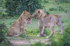 Baby Lions - Shamwari Game Reserve - South Africa