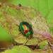 Dead-nettle Leaf Beetle (Chrysolina fastuosa) by Julian Hodgson