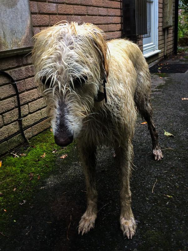 Wet again! Teddy's not very happy