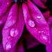 pink petals and raindrops