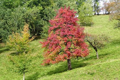 Birnbaum Herbsttag bei Linden (bei Oberdiessbach)