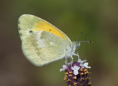 Dainty Sulphur (Nathalis iole)