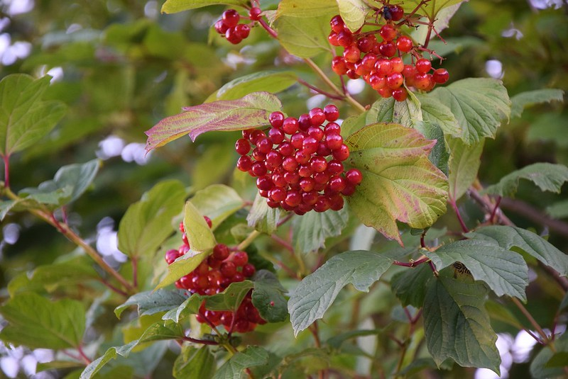 Berries 13.08 (1)
