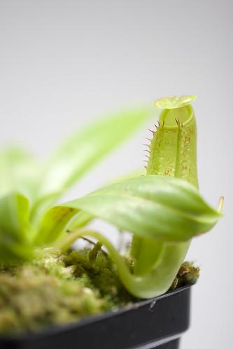 Nepenthes sp. 1 (Sumatra) BE