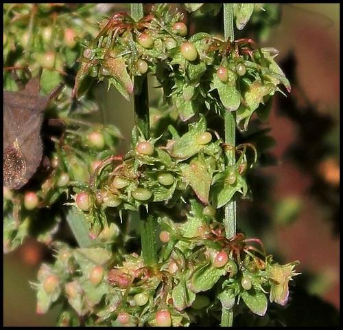 Rumex obtusifolius - patience à feuilles obtuses, oseille sauvage 35900767923_57d6b34803