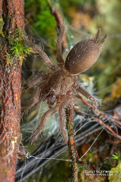 Tarantula (Theraphosidae) - DSC_8207