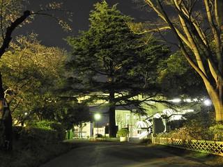 モノレール千葉公園駅1 見事な三角錐のヒマラヤスギ