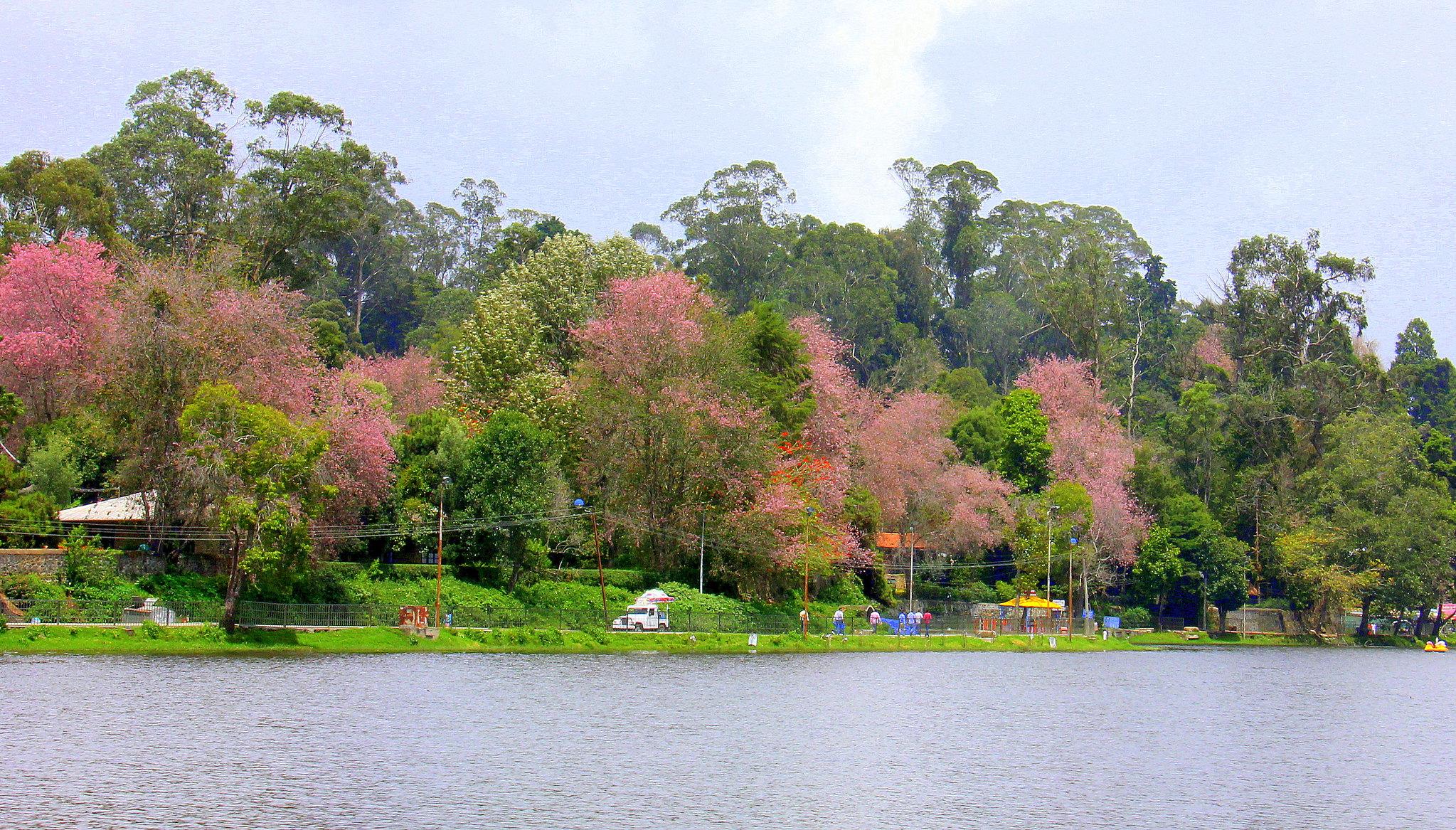 Cherry trees in bloom all around the lake in Kodaikanal