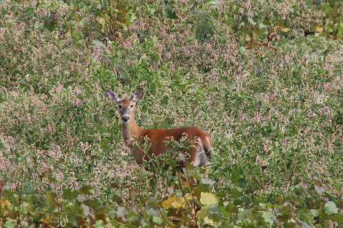 IMG_10599_Deer_at_Ouabache