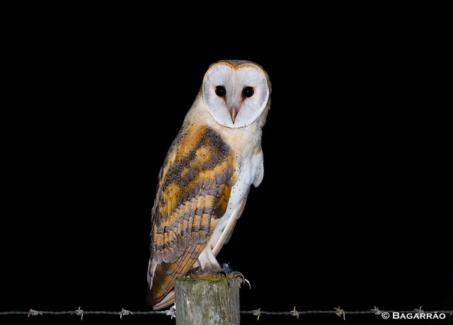 Coruja-das-torres | Barn Owl | Lechuza común | Effraie des clochers (Tyto alba)