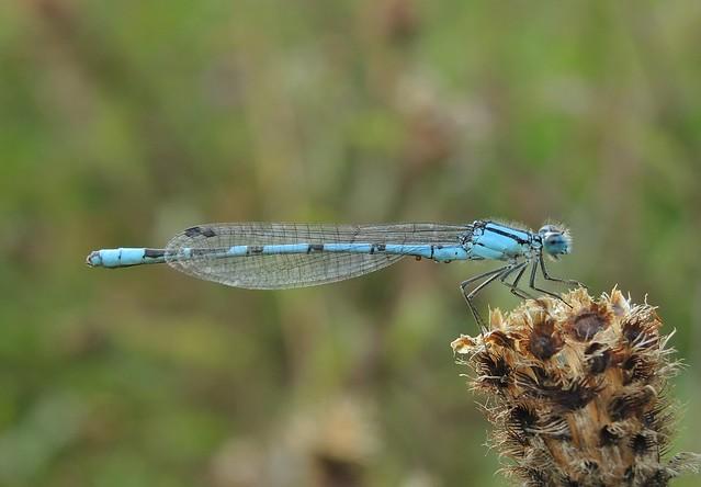 Common Blue Damselfly Enallagma, Nikon COOLPIX P7800