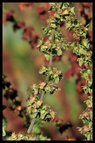 Rumex obtusifolius - patience à feuilles obtuses, oseille sauvage 36571890491_2d47352383
