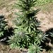 Small photo of Cannabis Plant