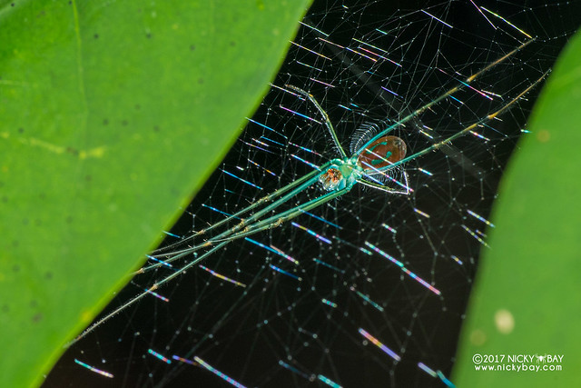 Big-jawed spider (Leucauge sp.) - DSC_8603