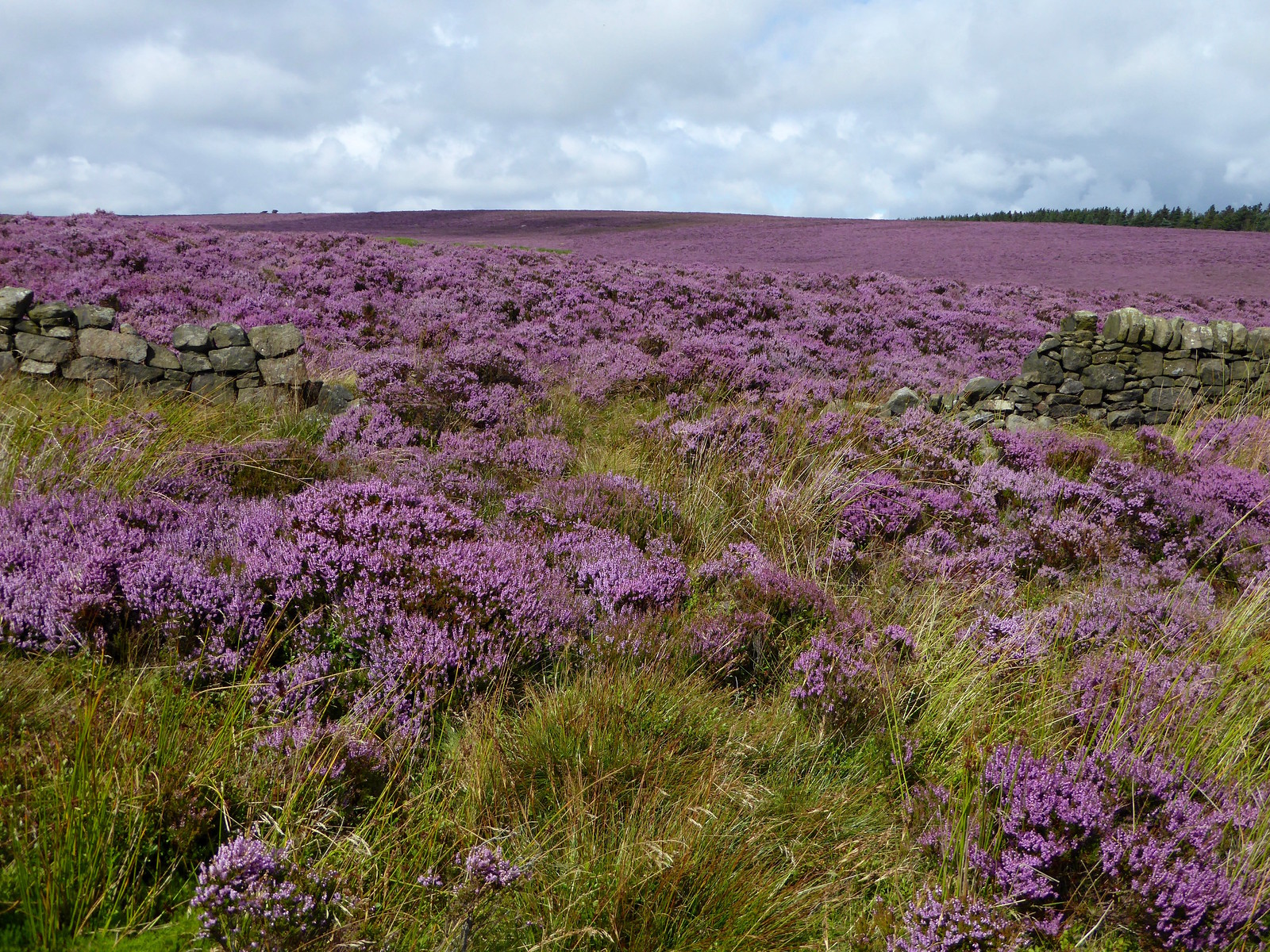 Heather-clad moor Sheffield to Bamford walk