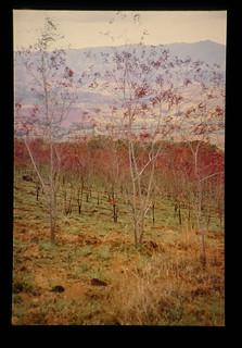 Burned Acacia Plantation For Feeding Sprout Of Imperata = 家畜飼料のために焼かれた造林地