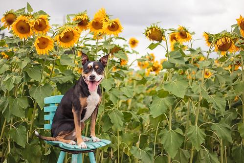 Sunflowers-0900