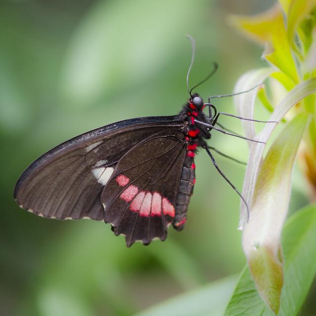 Butterfly, Nikon D7000, AF Micro-Nikkor 105mm f/2.8